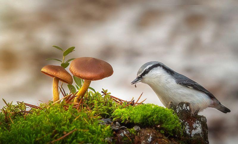 поползень,птицы,анималистика,север,печора,коми,осень Вот и осеньphoto preview