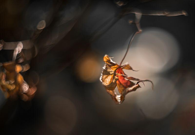 природа, макро, осень, кленовые листья Кара Жоргаphoto preview