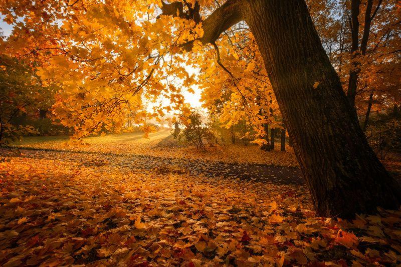 пушкин, царское село, парк, осень, дубы, октябрь, золотая осень, листопад, утро, рассвет Золото октябряphoto preview