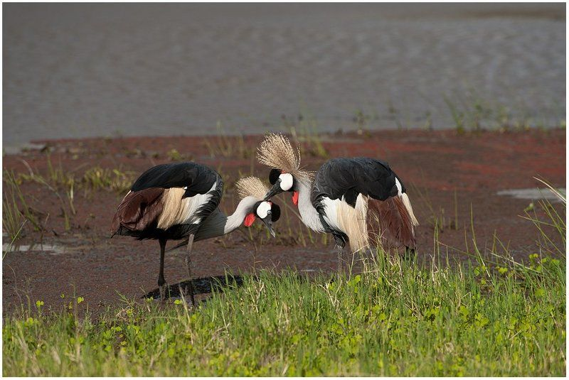 кения, красава Влюбленная пара.photo preview