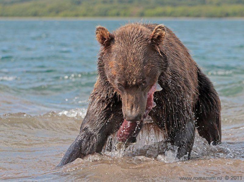 камчатка, медведь, озеро курильское, нерка Не отнимешь!photo preview