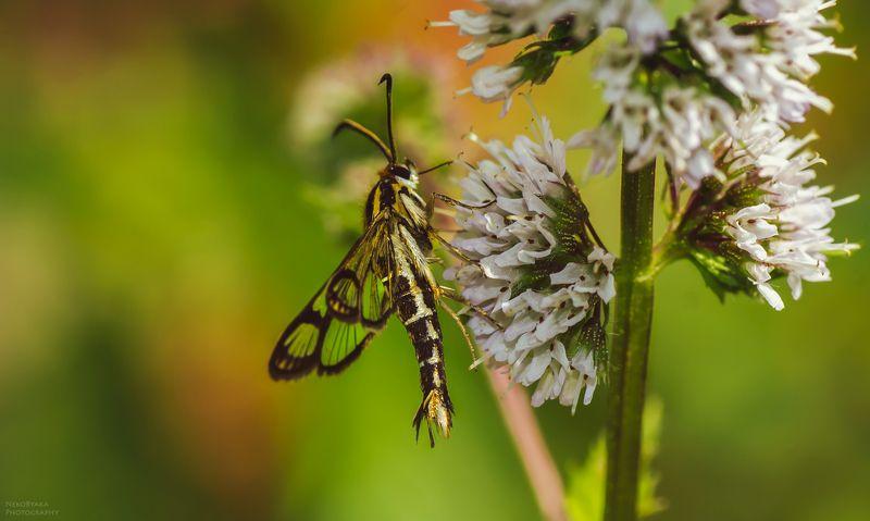 макро, природа, насекомые, бабочки, вредители, macro, nature, insects, butterflies, pests, Стеклянница смородиноваяphoto preview