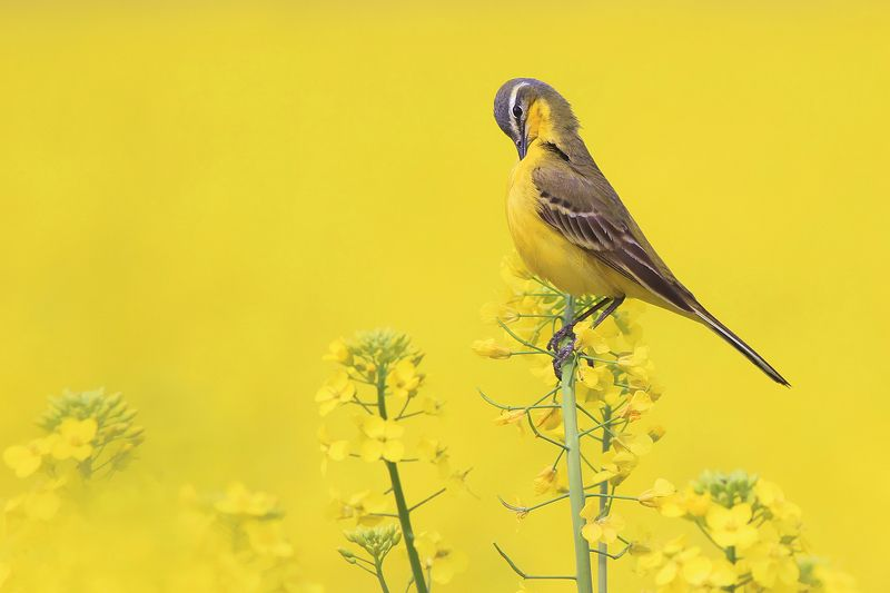 bird,yellow,wildlife,nature,color,beautiful,scene,fields,scenery,spring,wild,beauty,sunny,birds,natural Yellow Wagtailphoto preview