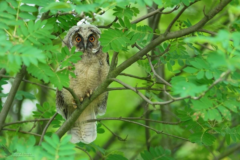 owl, birds, nature, animals, wildlife, colors, green, summer, nikon, nikkor, lens, lusbukie, poland Uszatka, Long-eared Owl (Asio otus) ... 2018rphoto preview