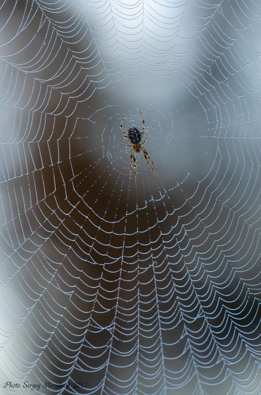 паук, паутина, макро, роса, сентябрь, осень,  украина Распустил сети.photo preview