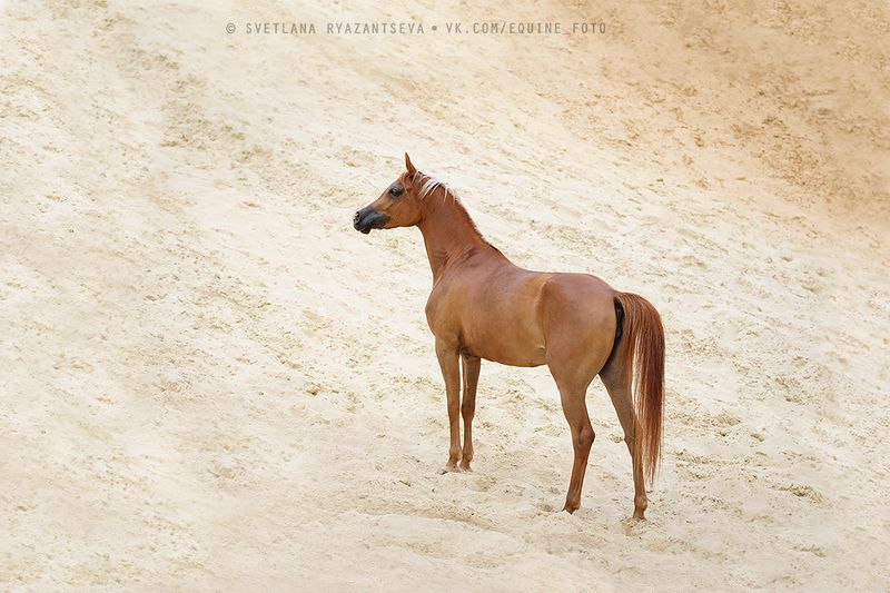 horse, лошадь, лошади, portrait desertphoto preview