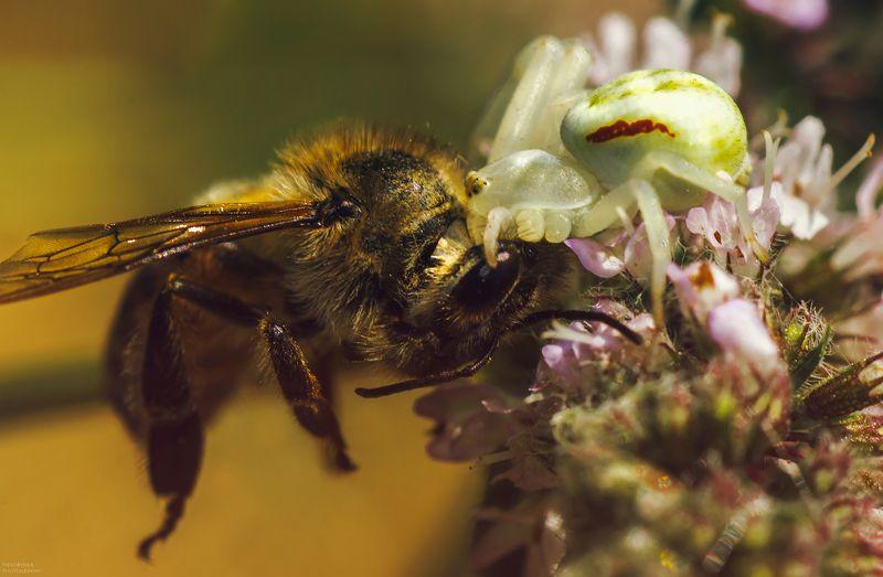 макро, природа, насекомые, пчела, паук, macro, nature, insects, bee, spider, Выживаниеphoto preview