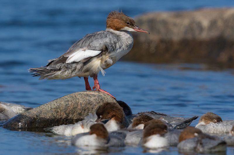 эстония, птицы, большой крохаль, лохусалу, природа Крохалиха и ее семействоphoto preview