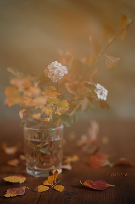 спирея, осень, спирея в ноябре Еще про ноябрьскую спирею...photo preview