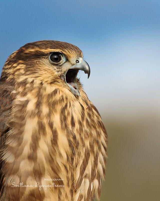 bird,  falco columbarius, falcon, falconry Falco columbariusphoto preview