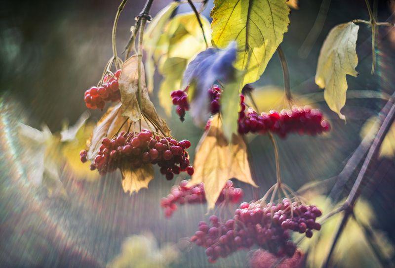 природа, макро, осень, ягоды, калина Калинов мостphoto preview