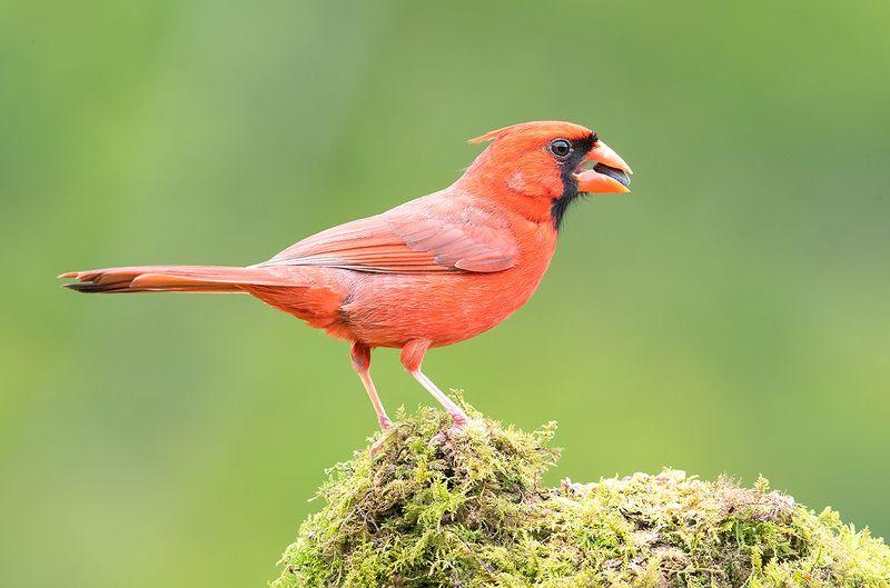 красный кардинал, northern cardinal, cardinal,кардинал Красный кардинал cамец  - Northern Cardinal malephoto preview