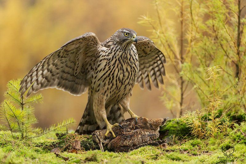Northern Goshawkphoto preview