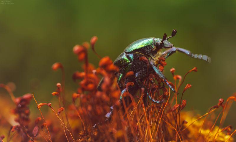 макро, природа, мох, насекомые, жук, бронзовка, macro, nature, moss, insects, beetle, Краснокнижный зверьphoto preview