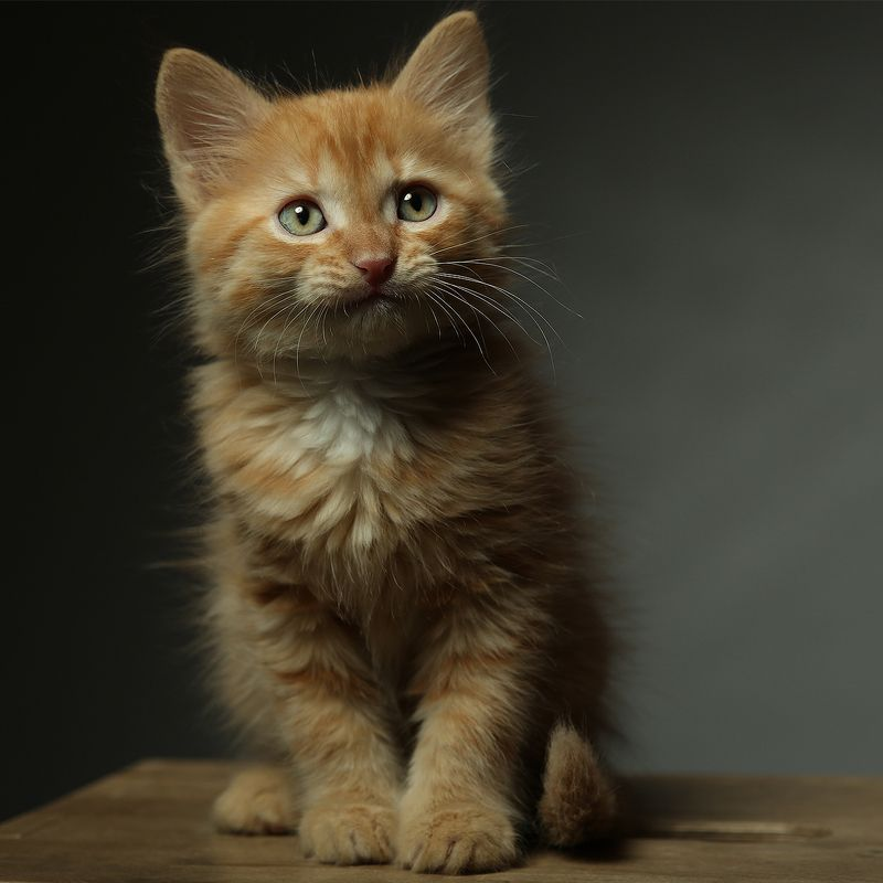 котенок, милый, лев, львенок, студия, свет Буни левphoto preview