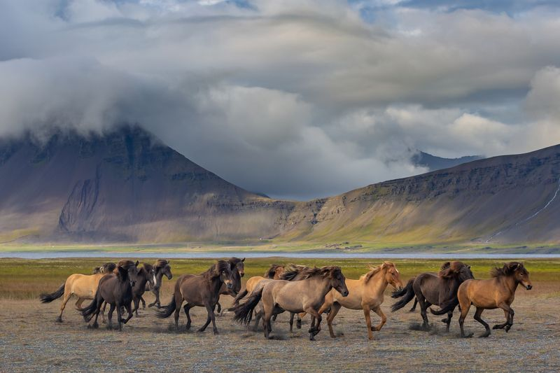 Icelandic horses photo preview