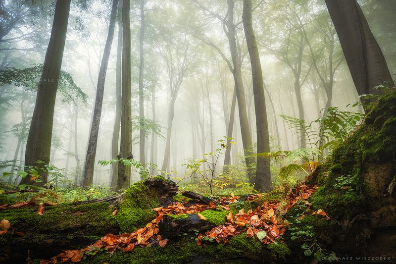 forest, poland, polish, landscape, mushroom, trees, light, awesome, shadows, fog, mist, beautiful, growing Forest lifephoto preview