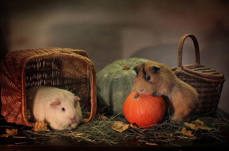композиция, животные , морские свинки, осень, тыквы, корзины Осенние игрыphoto preview