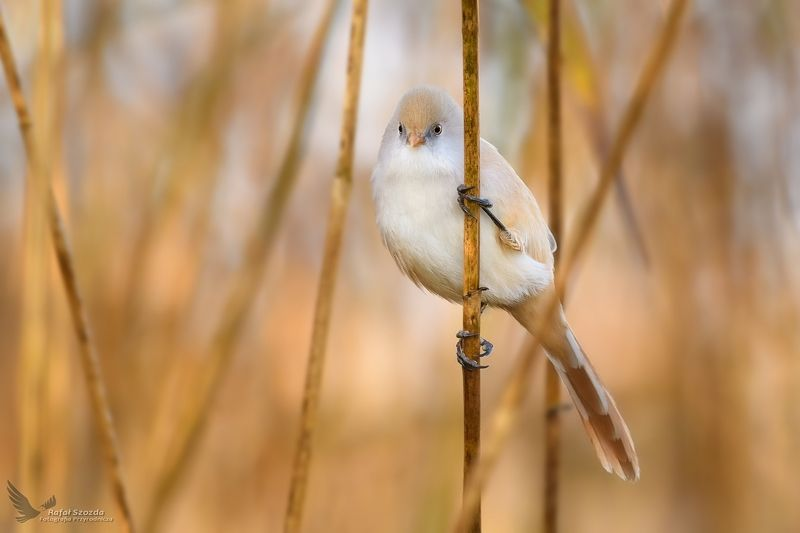 birds, nature, animals, wildlife, colors, autumn, nikon, nikkor, lens, lubuskie, poland Wąsatka, Bearded Parrotbill (Panurus biarmicus) ...photo preview