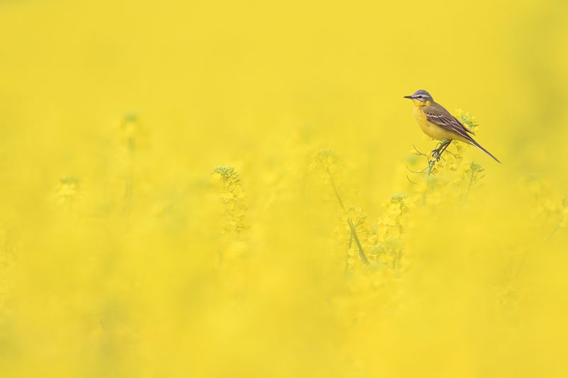 bird,yellow,wildlife,nature,color,beautiful,scene,fields,scenery,spring,wild,beauty,sunny,birds,natural The Yellow Realm of Yellow Wagtailphoto preview
