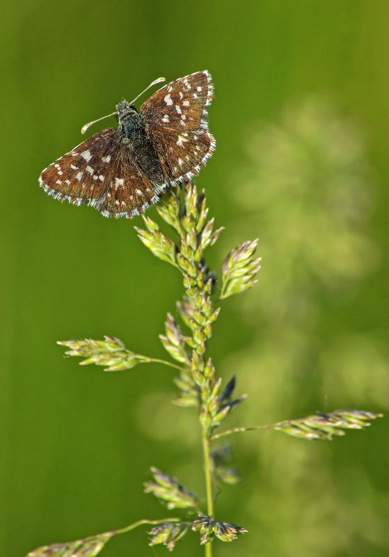 Бабочка Толстоголовка ***photo preview