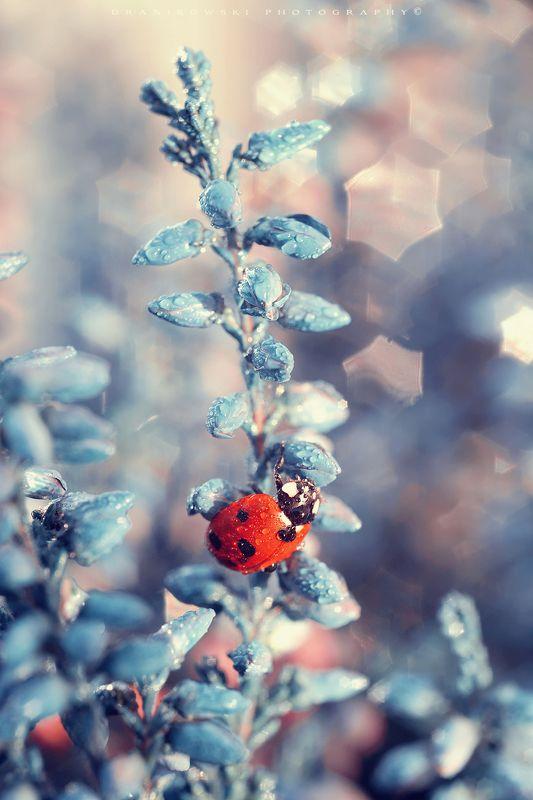 ladybird blue heather ladybug biedronka flower macro m42 bokeh star volna Ladybird on blue heatherphoto preview