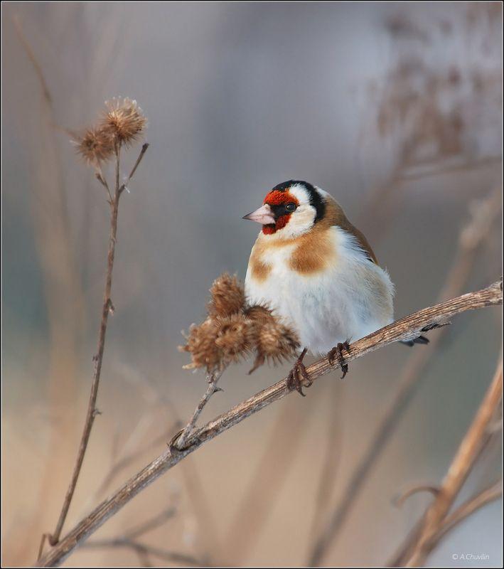 птица,щегол,захолодало Захолодалоphoto preview