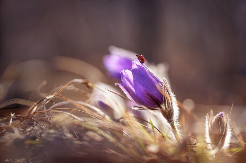 сон трава, весна, макро, цветы, коровка Встречая весну.photo preview