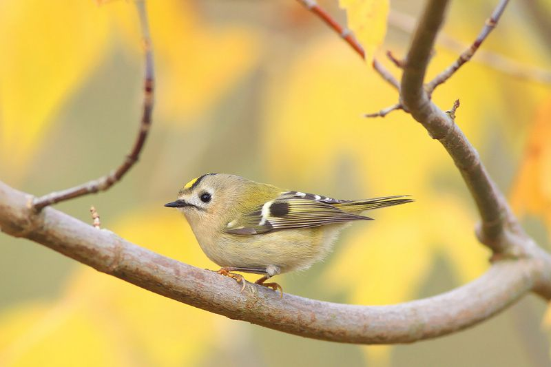 bird,orange,green,wildlife,nature,color,beautiful,scene,woods,scenery,autumn,wild,beauty,forest,birds,natural,nut The Goldcrest Seriesphoto preview