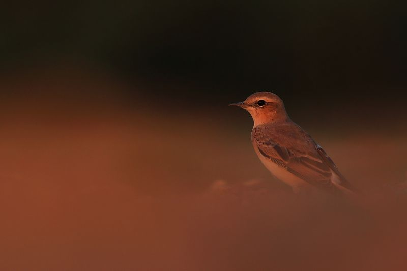 bird,wildlife,nature,red,night,sunset,color,scene,birds,wild,beauty,summer Night is comingphoto preview