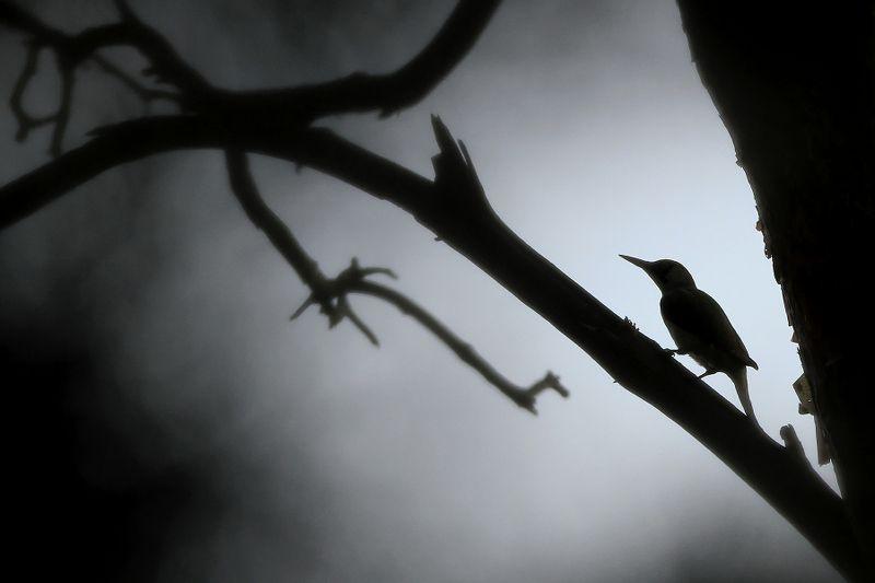 bird,mist,morning,wildlife,nature,beautiful,scene,woods,forest,wood,scenery,spring,wild,beauty,birds,light,dawn The Woodpeckerphoto preview