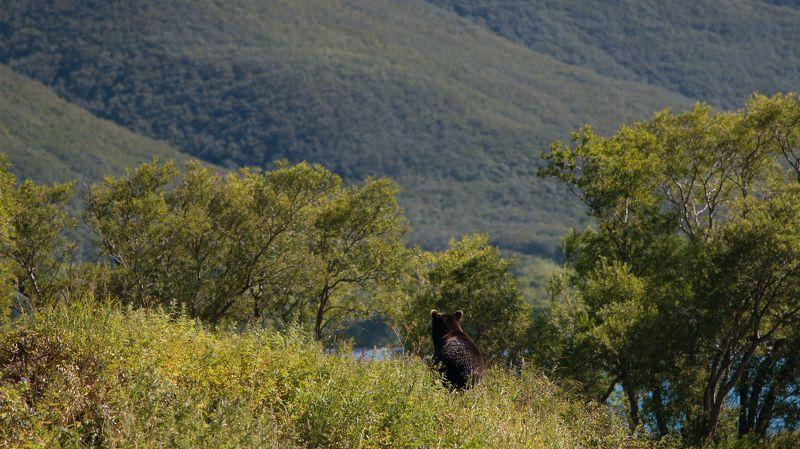 медведь, бурый медведь, камчатка, курильское озеро Медвежий крайphoto preview