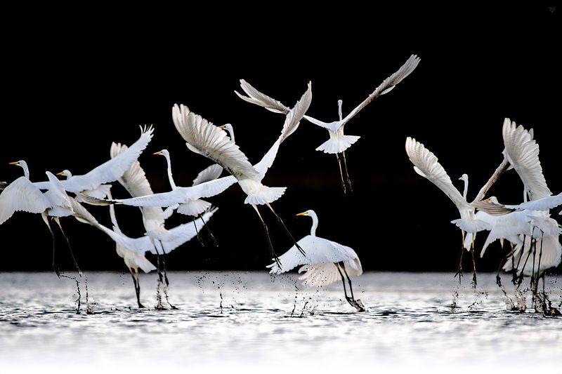 white,heron,birds,wildlife, Balletphoto preview