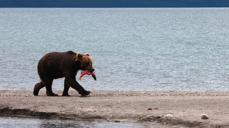 медведь, бурый медведь, камчатка, курильское озеро Завтракphoto preview
