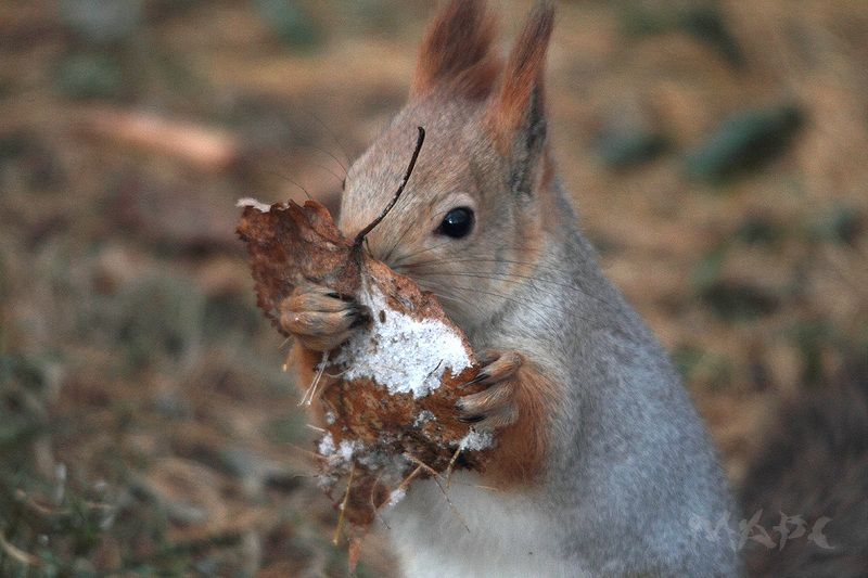 животные белка лист иней Вкусный инейphoto preview