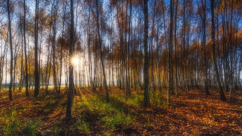 In the Birch Forest...photo preview