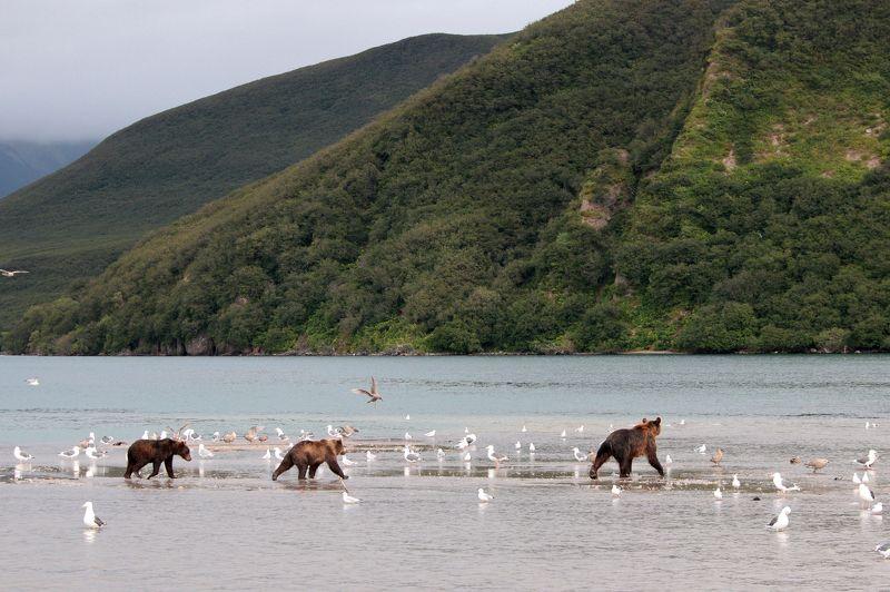 Медведь, озеро, камчатка, курильское озеро, бурый медведь, холм, гора Дом для медведейphoto preview