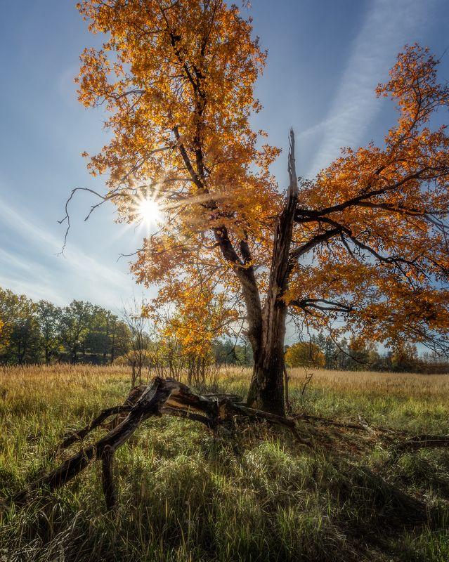 природа, пейзаж, осень, дуб, подольск Рыжий дубphoto preview