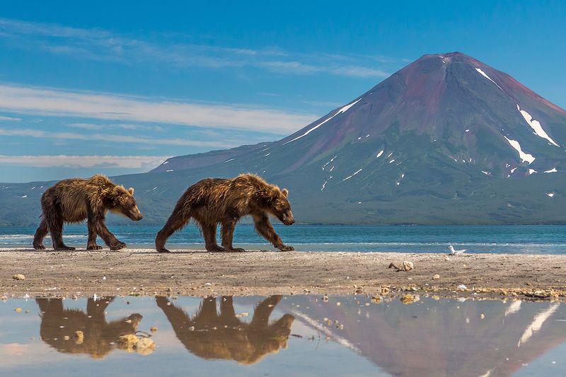 камчатка, вулкан, пейзаж, путешествие, лето, фототур, медведь Медвежий патрульphoto preview