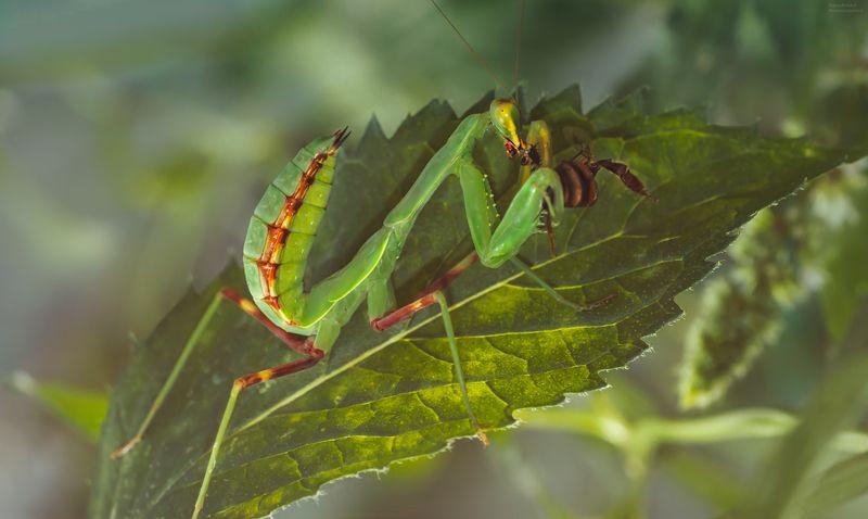 макро, природа, насекомые, богомол, пчела, macro, nature, insects, mantis, bee, вкусный завтракphoto preview
