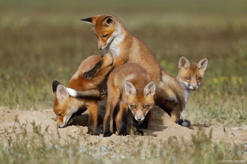 little fox, лисята Братцы лисыphoto preview