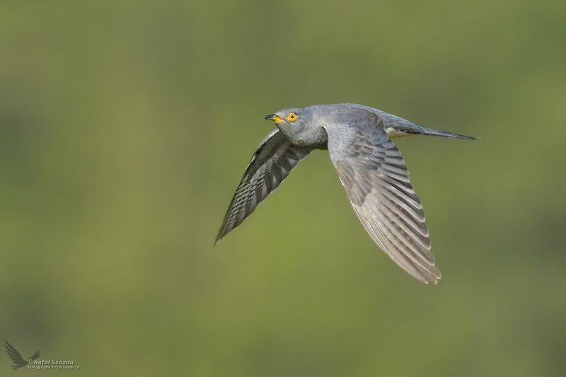 birds, nature, animals, wildlife, colors, flight, nikon, nikkor, lens, lubuskie, poland Kukułka, Common Cuckoo (Cuculus canorus) ...photo preview