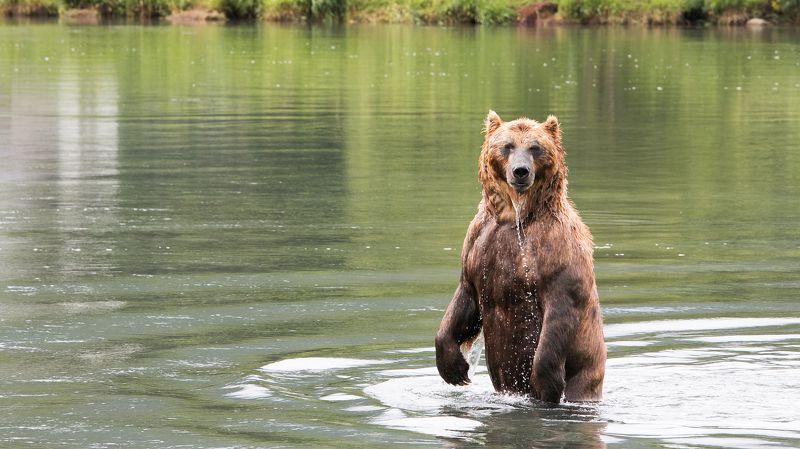 Медведь, камчатка, бурый медведь, курильское озеро, вода, зелёный Казановаphoto preview