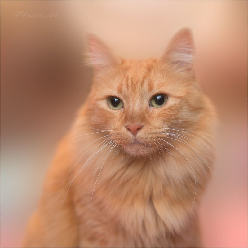 кошки, животные, портрет Портрет в тёплых тонахphoto preview