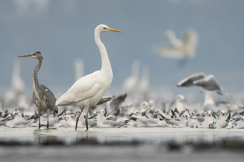 white heron, czapla biała, egretta alba, ***photo preview