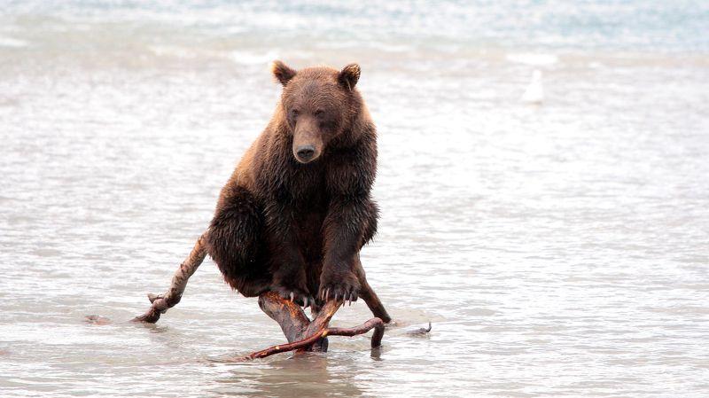 Медведь, камчатка, бурый медведь, курильское озеро, вода, дикая природа,  Грацияphoto preview