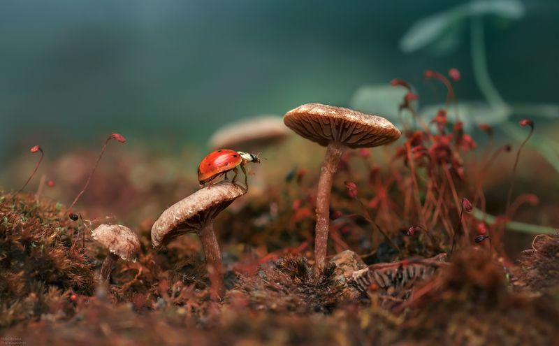 макро, природа, растения, мох, грибы, насекомые, божья коровка, macro, nature, plants, moss, mushrooms, insects, ladybug, Красная шапочкаphoto preview
