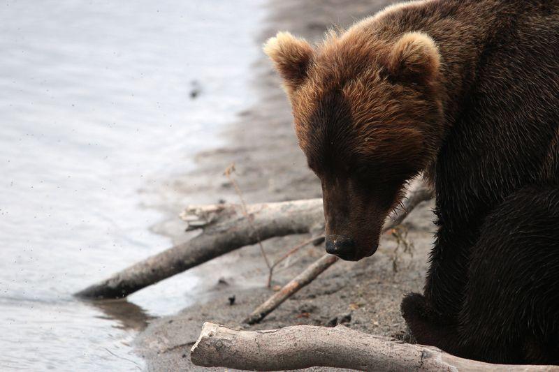 медведь, камчатка, бурый медведь, курильское озеро, вода, дикая природа, Погружен в себяphoto preview