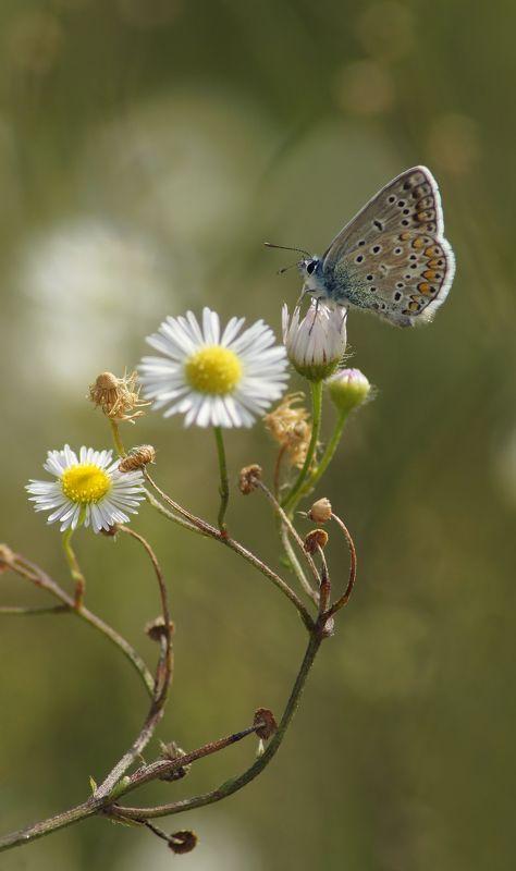 Бабочка Голубянкаphoto preview