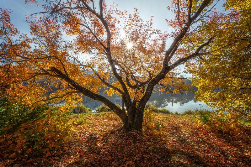природа, пейзаж, осень, подольск Солнечное деревоphoto preview